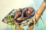 ape relaxing