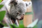 koala looking sad
