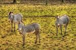 zebras at Edinburgh zoo
