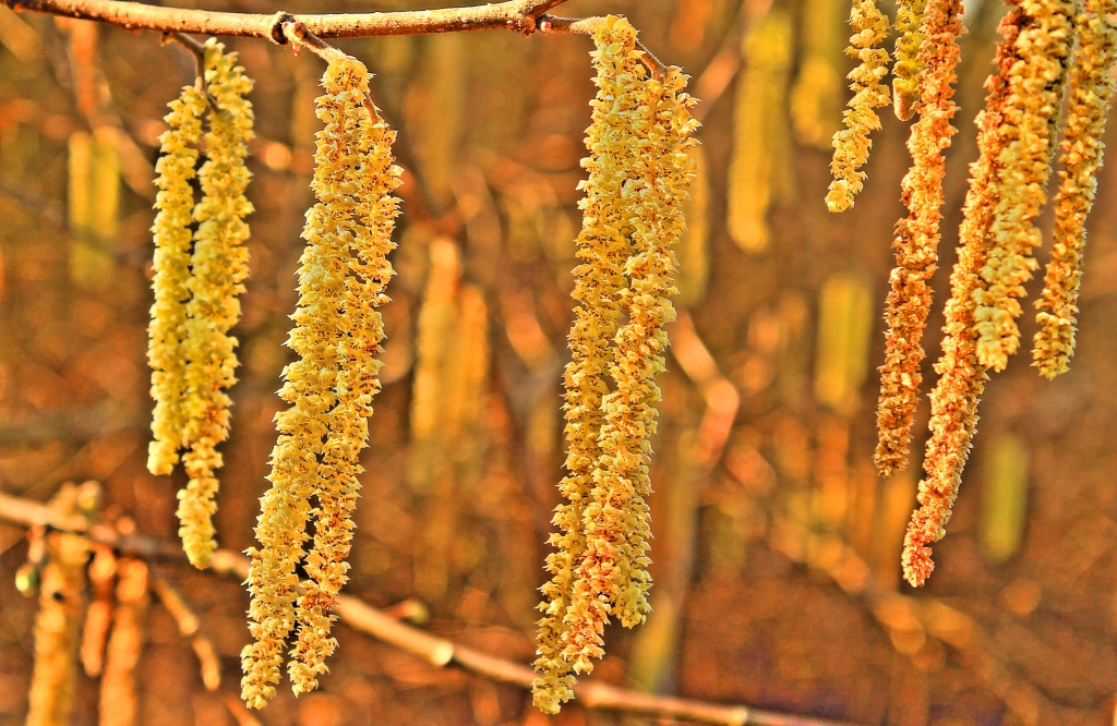 catkins on tree