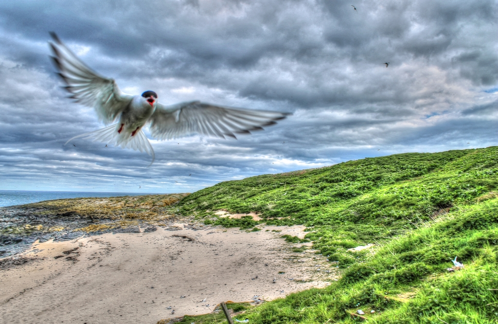 Arctic tern attacking on fare Islands