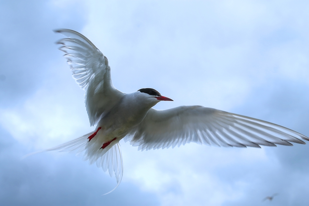 Arctic tern on Farne Islands