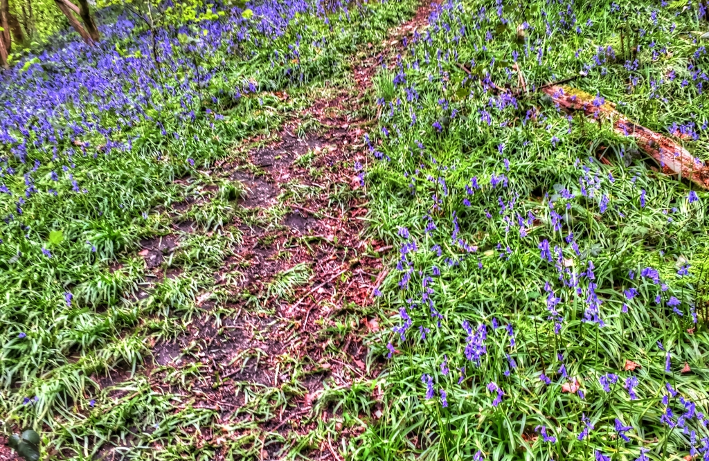 Path through bluebells in woods