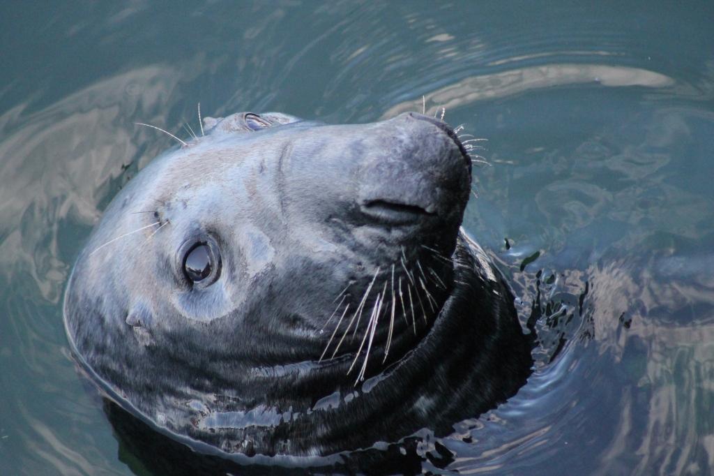 seal basking at Eyemouth Scotland