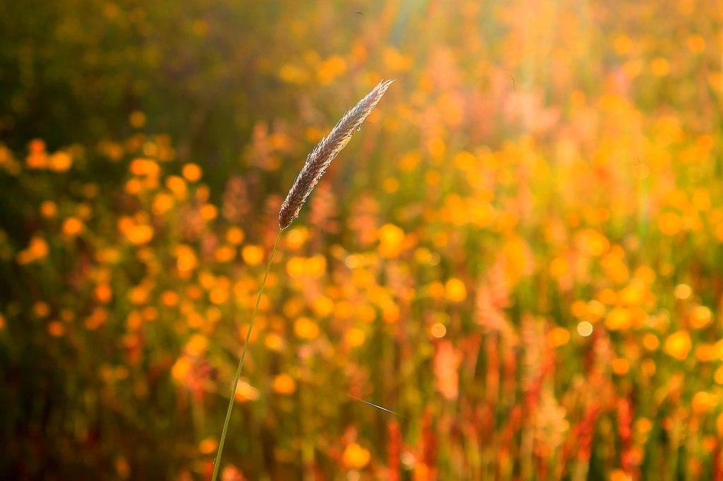 corn of grass