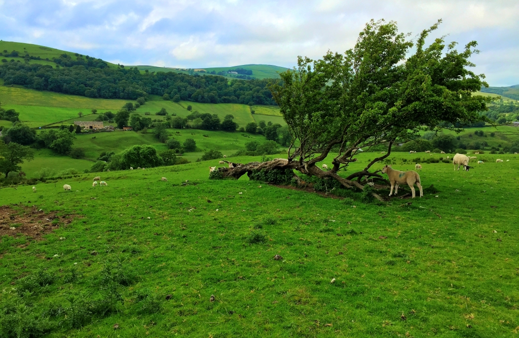 lamb under tree