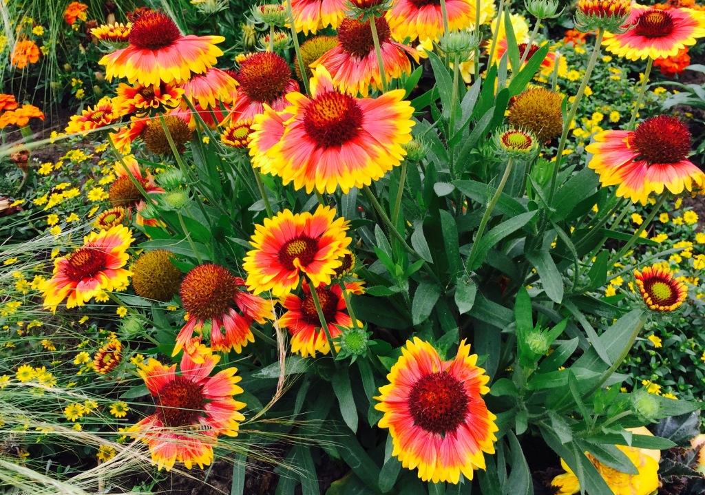 firewheel flower