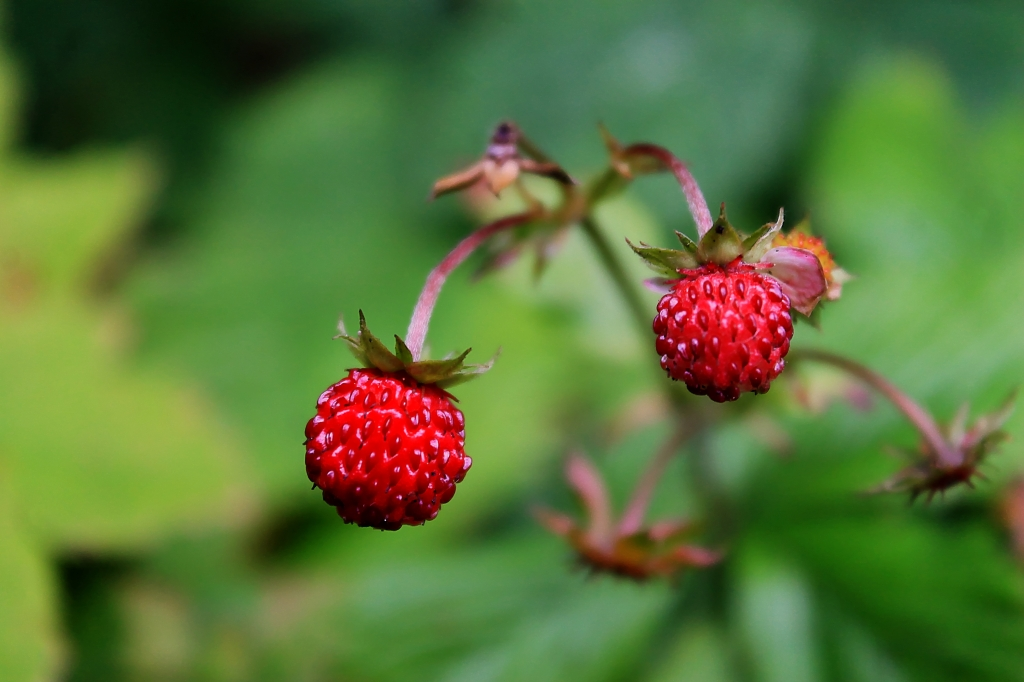 first wild strawberries