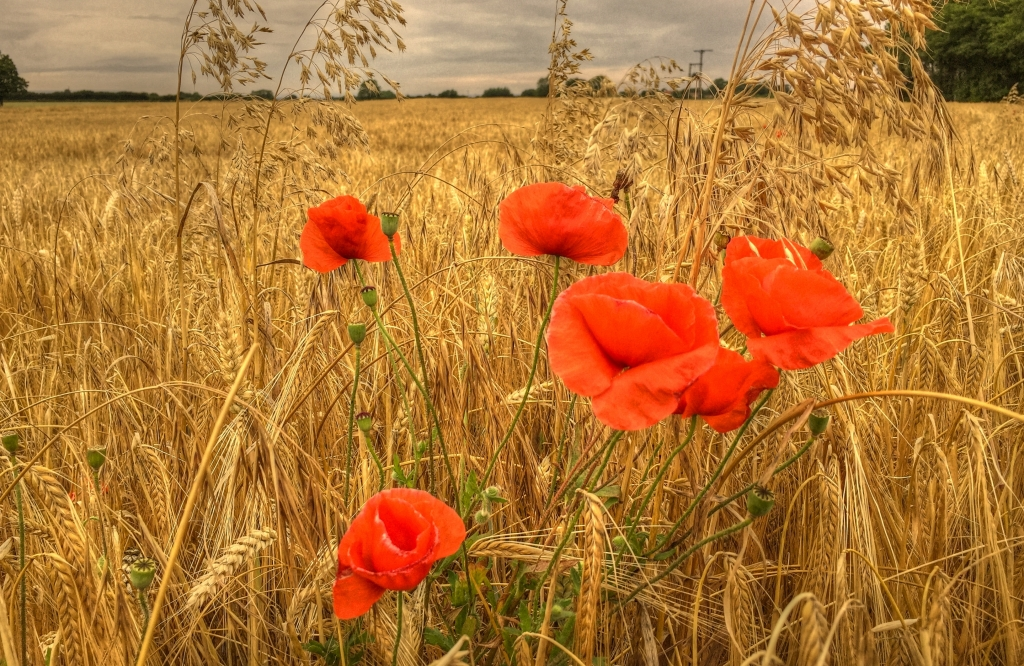 poppies in field in Thirsk