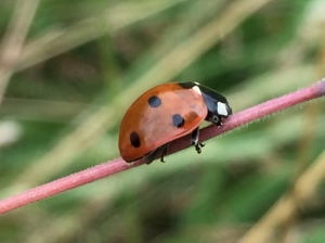 ladybug gripping grass