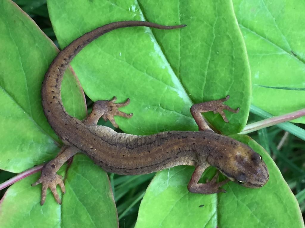 Newt on leaves