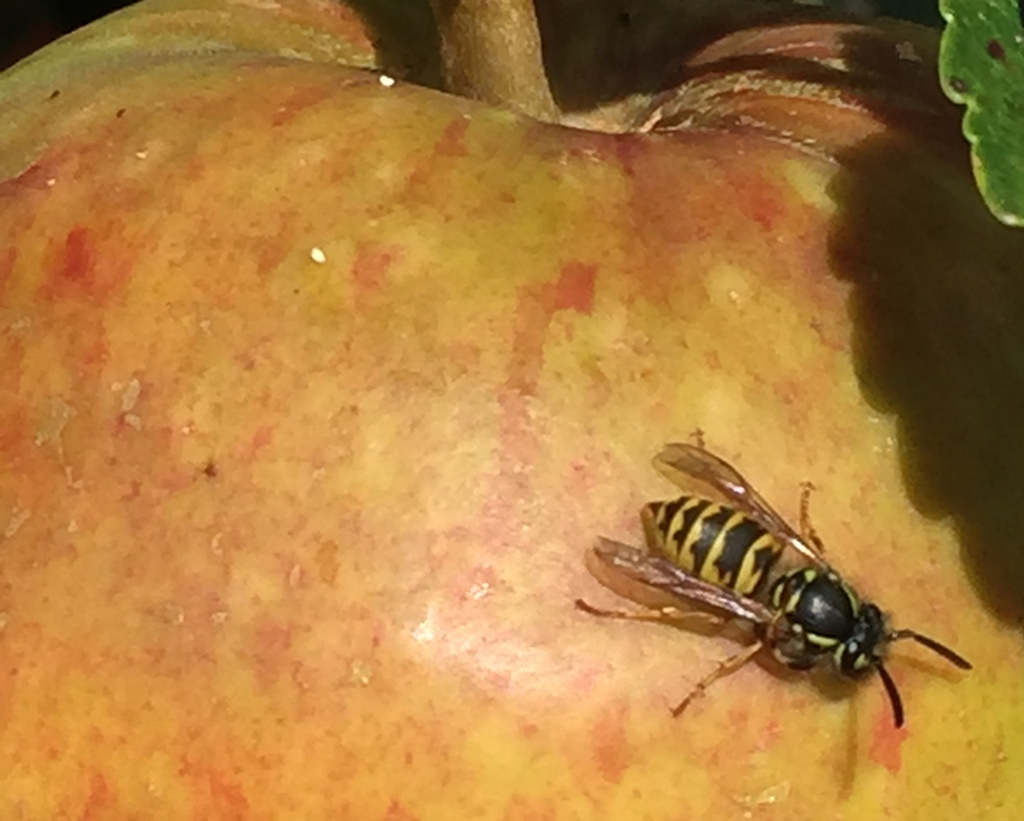 wasp on apple