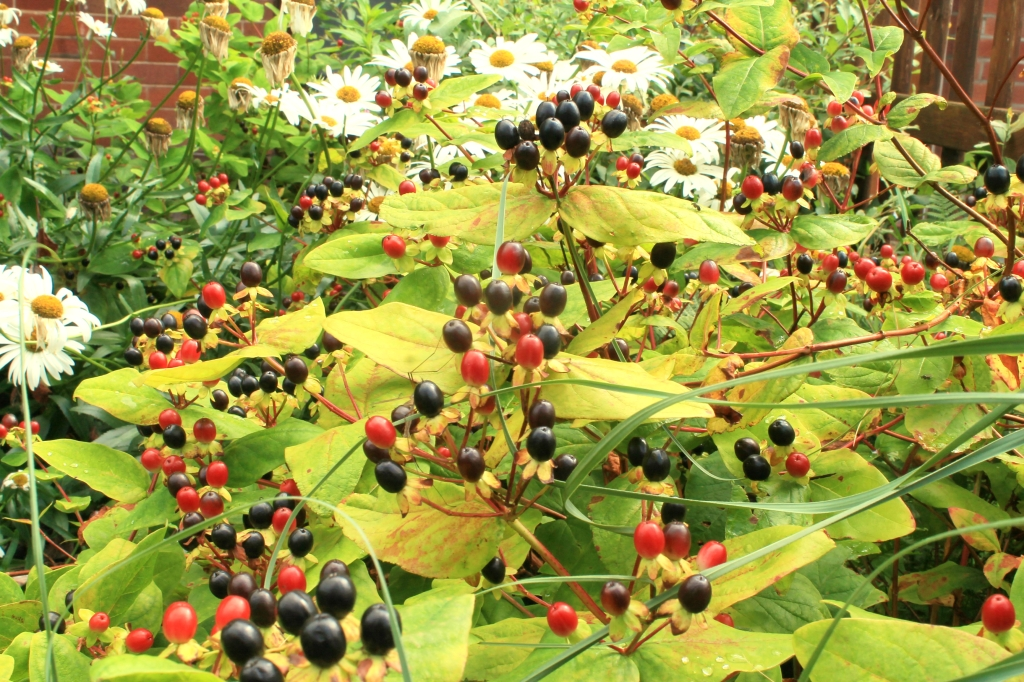 berries on bushes