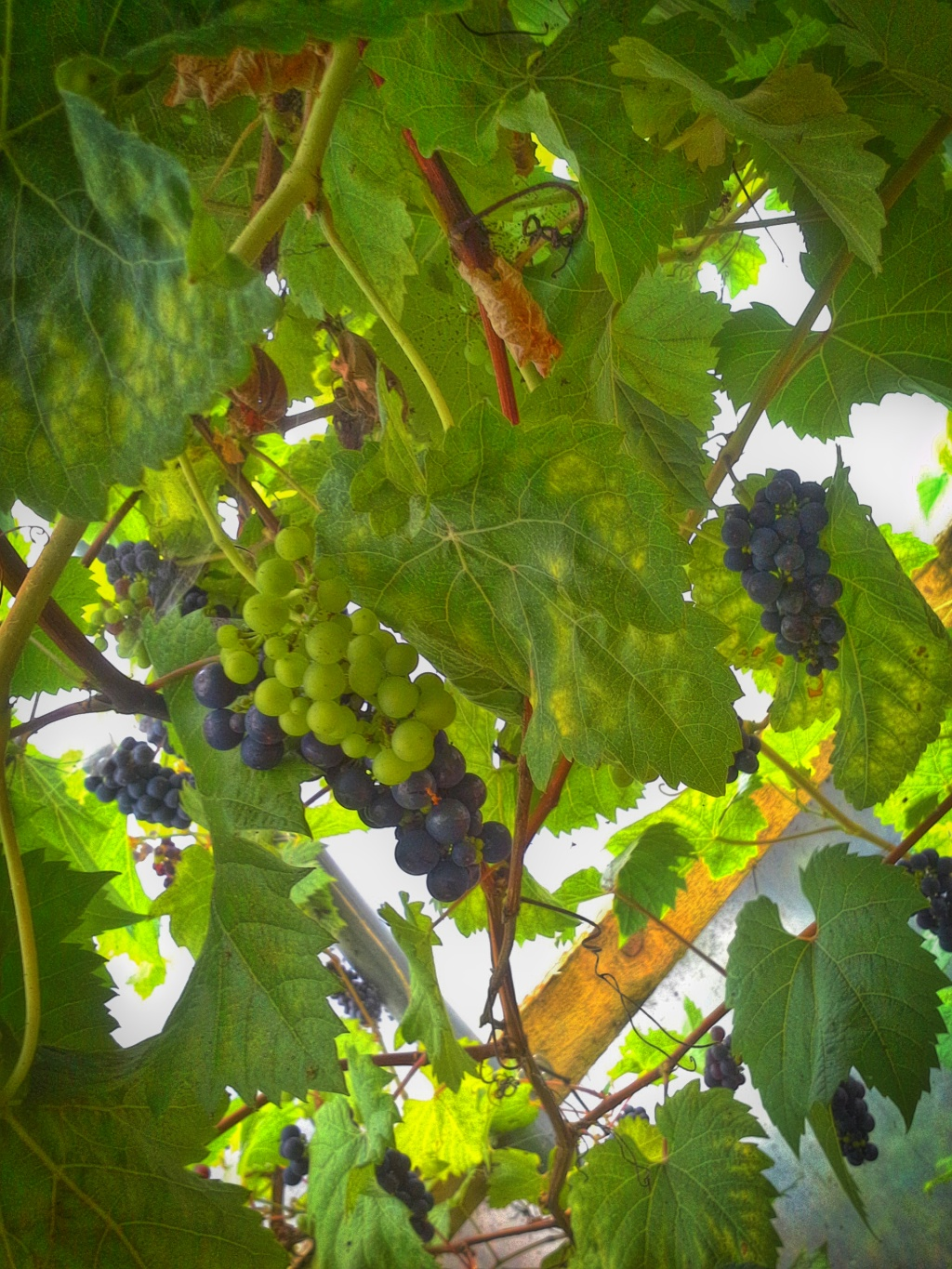 grapes of goodness