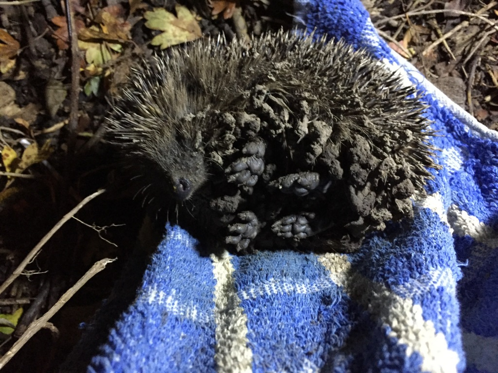 hedgehog being released