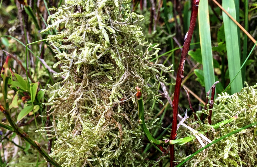 moss on bilberry