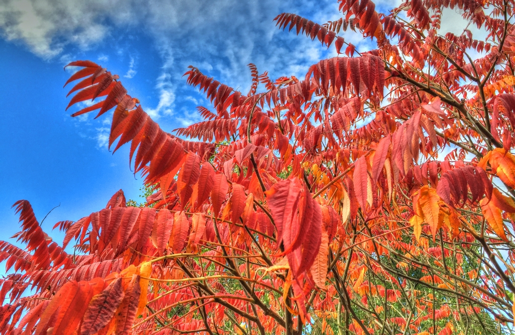 red leaves - Sumac tree