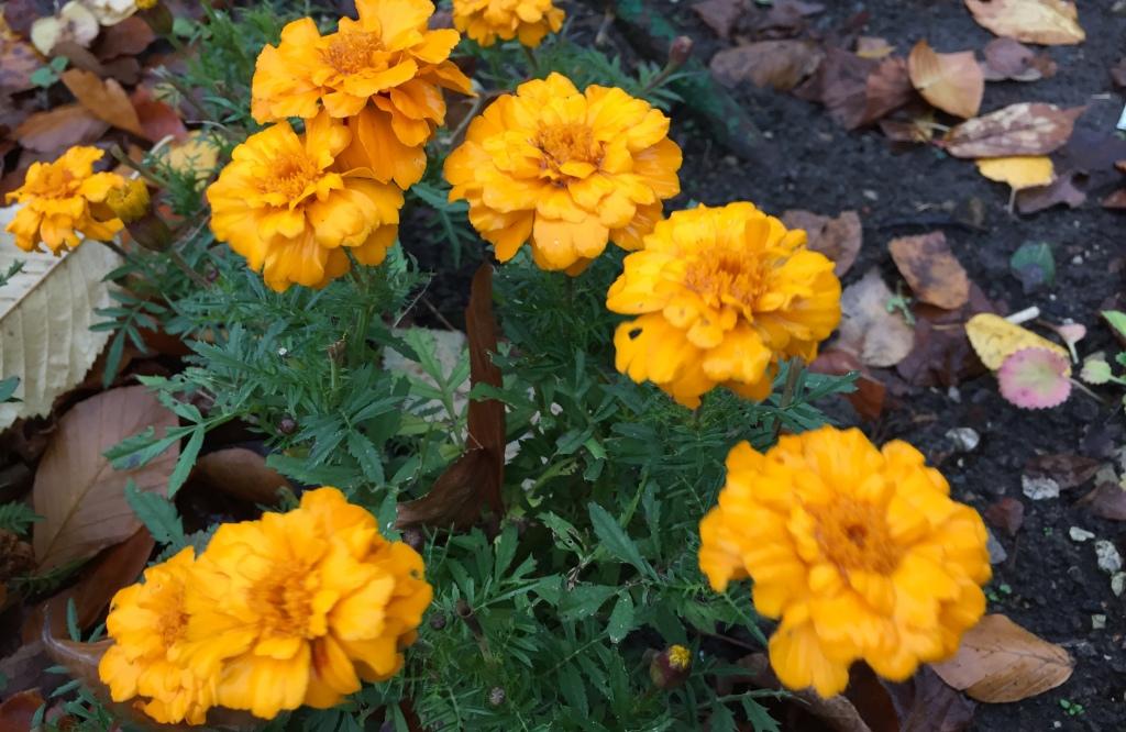"""marigold's """"John Henry"""""""