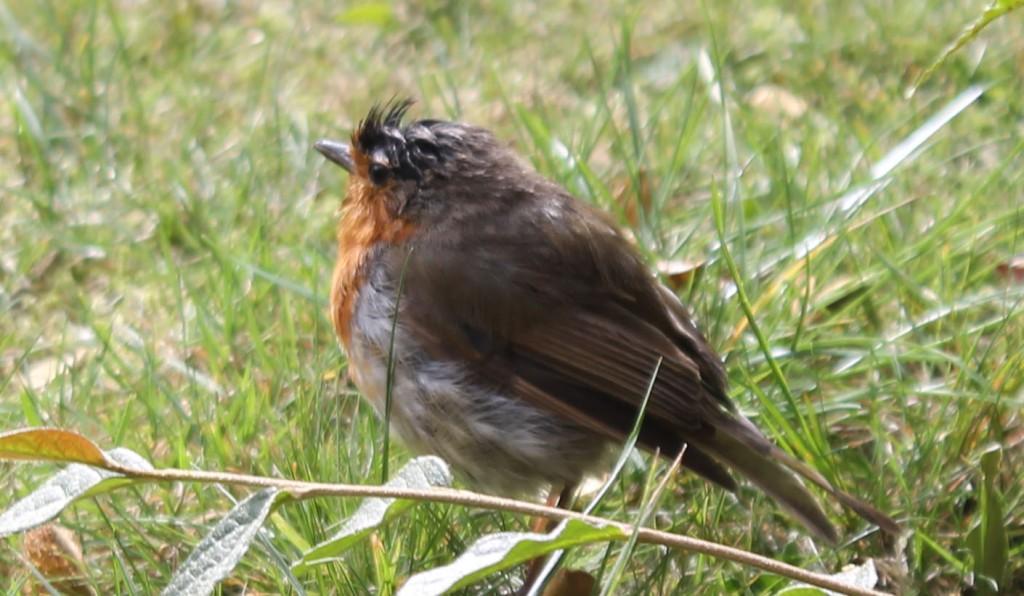 bedraggled robin